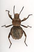 Darkling Beetle (Scaurus puncticollis) on white background, Saudi Arabia