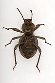 Darkling Beetle (Scaurus puncticollis) with parasites, ventral face on white background, Saudi Arabia