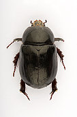 Lawn beetle (Pentodon algerinum) on white background, Saudi Arabia