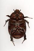 Lawn beetle (Pentodon algerinum) ventral face on white background, Saudi Arabia