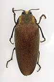 Emerald beetle (Steraspis speciosa arabica) on white background, Saudi Arabia