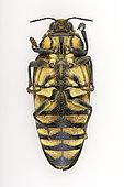 Emerald beetle (Steraspis speciosa arabica) ventral face on white background, Saudi Arabia