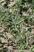 Épines d'acacia (Acacia tortilis), Arabie Saoudite
