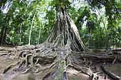 Racines d'un très grand Figuier (Ficus sp), Ile Christmas, Australie