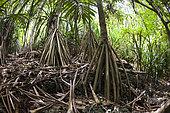 Pandanus Forest, Pandanus christmatensis, Christmas Island, Australia