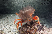 Christmas Island Red Crab release eggs into ocean, Gecarcoidea natalis, Christmas Island, Australia