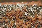 Juvenile Crabs returning on Land, Gecarcoidea natalis, Christmas Island, Australia