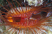 Close up of Electric Flame Scallop, Ctenoides ales, Christmas Island, Australia