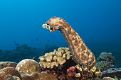 Striated Sea Cucumber, Bohadschia graeffei, Christmas Island, Australia