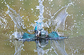 Kingfisher (Alcedo atthis) Female diving in water to catch a fish, England, Summer