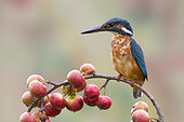 Kingfisher (Alcedo atthis) Female perched on a crabapple branch, England, Summer