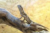 Dragon de Lawson (Pogona henrylawsoni) sur une branche