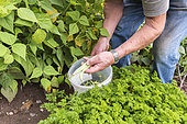 Picking 'Vesperal' Rowing Beans in a vegetable garden in summer, Moselle, France