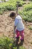 Little girl harvesting Carrots in a kitchen garden