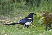 Black-billed Magpie (Pica pica) on ground in a garden, Ile-de-France, France