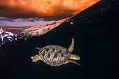 Green turtle (Chelonia mydas) under the surface at sunset, Mayotte