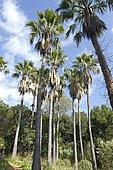 Desert fan palm (Washingtonia filifera), jardins du Rayol, Var, France