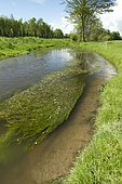 River water-crowfoot (Ranunculus fluitans), Andlau river, Meistratzheim, Bas-Rhin, Alsace, France