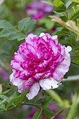 Double chestnut rose (Rosa roxburghii 'Plena')