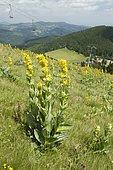 great yellow gentian (Gentiana lutea) on the Gaschney ski slope, Haut-Rhin, France
