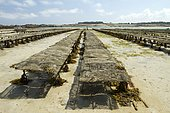 Oysters farms (Magallana gigas) with bladder wrack (Fucus serratus), Pleubian, Côtes-d'Armor, France. Syn.: Crassostrea giga