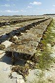 Oysters farms (Magallana gigas) with bladder wrack (Fucus serratus) and dwarf eelgrass (Zostera noltei), Pleubian, Côtes-d'Armor, France. Syn.: Crassostrea gigas