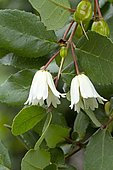 Lily of the valley tree (Crinodendron patagua) flowers