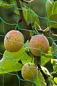 Mirabelle plum with fruit protected with a net (Prunus insititia)