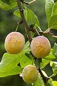 Mirabelle plum (Prunus insititia)