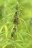 Hemp (Cannabis sativa) cultivated for seeds (hemp seed), Pontivy, Morbihan, Brittany, France