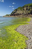 Green algae (Ulva spp), Bréhec cove, Plouha, Côtes-d'Armor, Bretagne, France