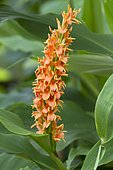 Hardy Ginger Lily 'Assam Orange' (Hedychium densiflorum) flowers