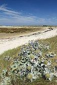 Sea holly (Eryngium maritimum), Great island, Pleumeur-Bodou, Côtes-d'Armor, Bretagne, France