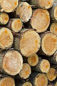 Silver fir logs (Abies alba)