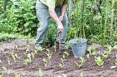 Jardinier désherbant son potager en été, Moselle, France
