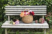 Wicker basket filled with cut dahlia flowers, on a garden bench in summer, Pas de Calais, France