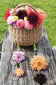 Wicker basket filled with cut dahlia flowers, on a garden table in summer, Pas de Calais, France