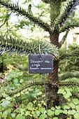 Désespoir des singes (Araucaria araucana) en été, Moselle, France
