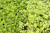 Parsley flat and curled in a vegetable garden in summer, Moselle, France