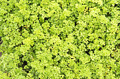 Curled Parsley in a vegetable garden in summer, Moselle, France
