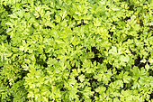 Flat Parsley in a garden in summer, Moselle, France