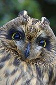 Short-eared Owl (Asio flammeus), Emsland, Lower Saxony, Germany, Europe