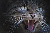 Chat sauvage (Felis silvestris), Portrait, Pyrénées, Espagne