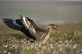Great Skua, Stercorarius skua displaying at its nest on Hermaness National Nature Reserve Unst, Shetland June