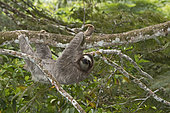 Brown-throated Sloth (Bradypus variegatus) of Three-toed Sloth family, female, Panama