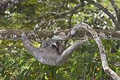 Brown-throated Sloth (Bradypus variegatus) of Three-toed Sloth family, female, Panama