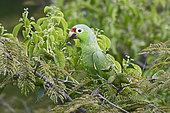 Red-lored Parrot (Amazona autumnalis), Darién, Panama
