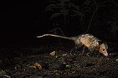Common Opossum (Didelphis marsupialis) Canopy Camp in the Darien Panama