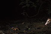Sarigue australe (Didelphis marsupialis) la nuit, Canopy Camp, PN Darién, Panama