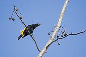 Cassique cul-jaune (Cacicus cela) mâle appelant sur une branche, Canopy Camp, PN Darién, Panama